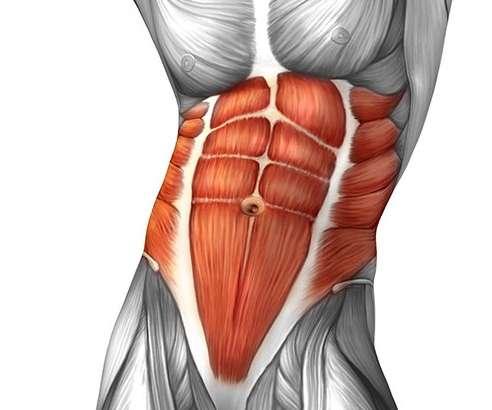 Anatomía músculos abdominales