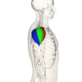 excéntricos de hombro