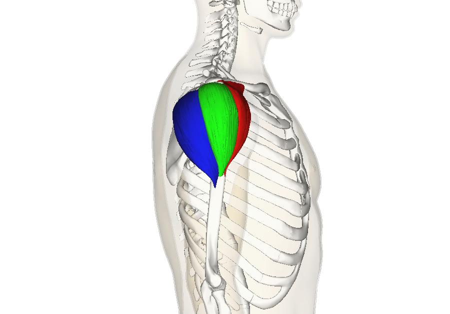 Excéntricos de hombro.